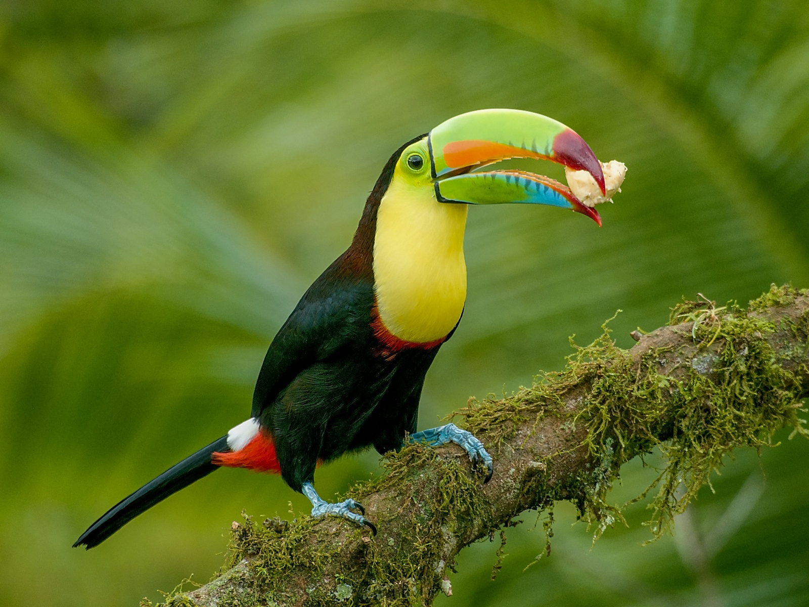 Keeled-billed Toucan, Costa Rica
