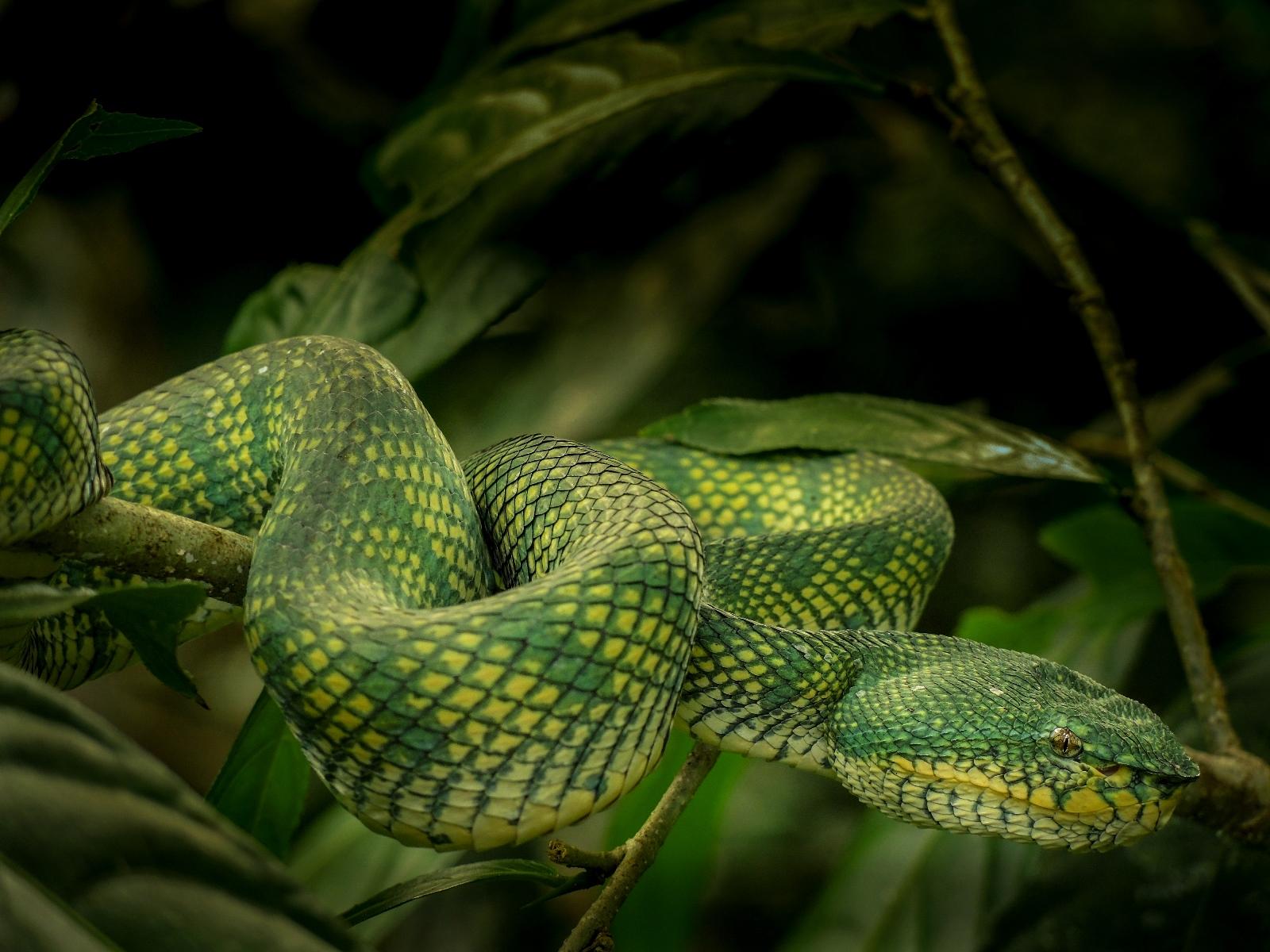 Viper, Borneo